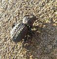 escarabajo_puerro